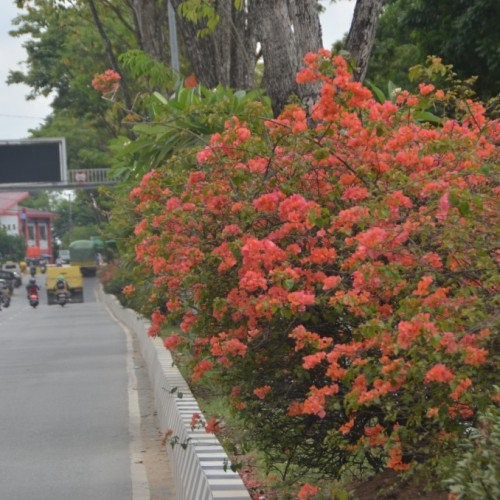 Bougenvile, Percantik Taman Median Jalan